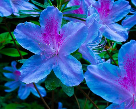azalea bush colors blue azaleas photograph by allyson jones