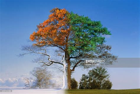 tree seasons come seasons image gallery oak tree four seasons