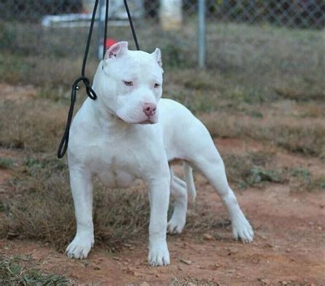all white pitbull puppies all white pitbull puppies www imgkid the image kid has it