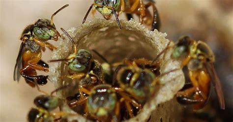 Rainha de abelhas sem ferrão não castra operárias – Jornal