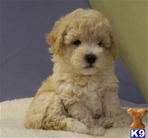 goldendoodle puppy with diarrhea maltipoo puppies for sale s wish list