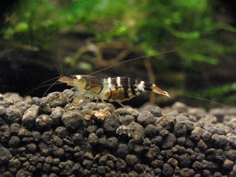 Black Bee Shrimp black bee shrimp