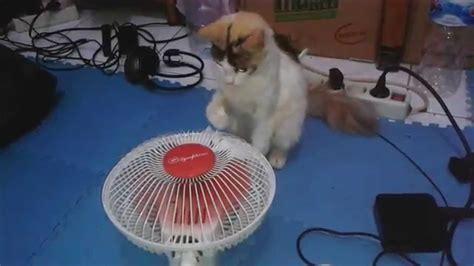 Kipas Angin Sedang kucing lucu blasteran anggora sedang bermain kipas angin