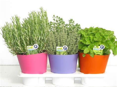 erbe aromatiche in vaso opalbenga produzione piante aromatiche e fiorite in vaso