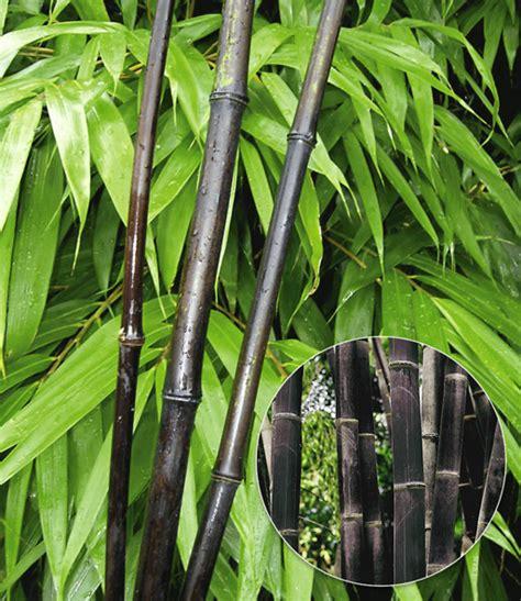 baldur garten österreich 3300 schwarzer bambus black bamboo 1a qualit 228 t kaufen baldur