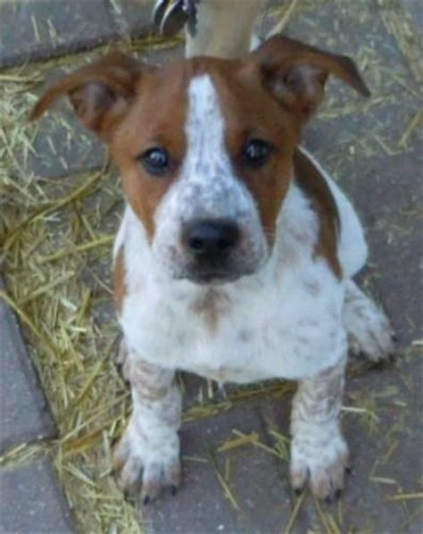 Cow Mix 10 best pit heeler mixes images on australian cattle bred pit and cattle dogs
