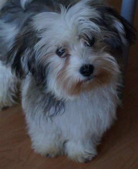 cottonwood havanese havanese puppies for sale co breeds picture