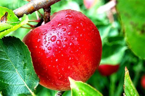 gambar buah apel merah gambar buah belimbing gambar buah ceri apps directories