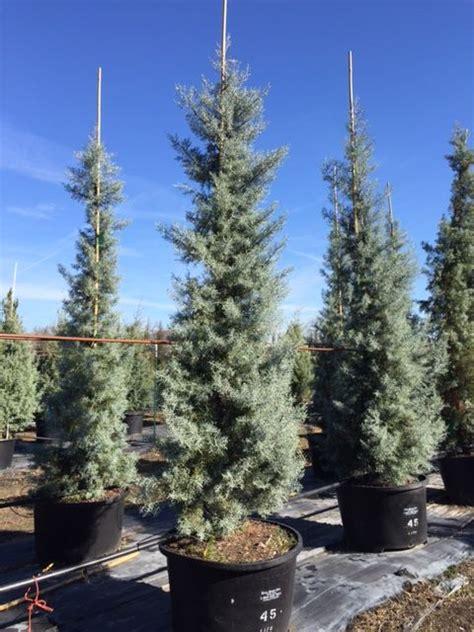 decorated blue arizona cypress cupressus arizonica glabra blue arizona blue cypress smooth bark arizona cypress