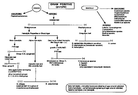 gram negative identification flowchart gram positive flow chart science and