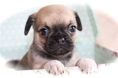 chihuahua x pug puppies chug puppies