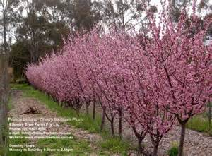Cherry Blossom And Maserati Related Keywords Suggestions For Prunus Cherry