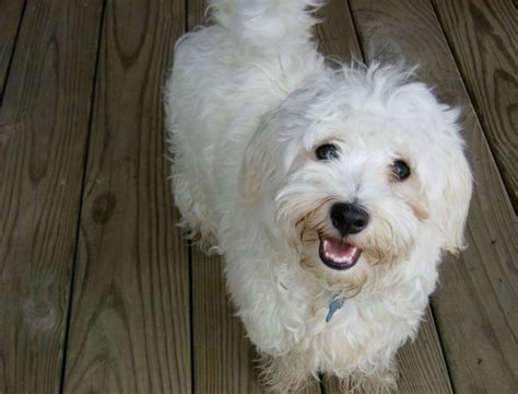 havanese names 19 best images about havanese on kinds of dogs names and coloring