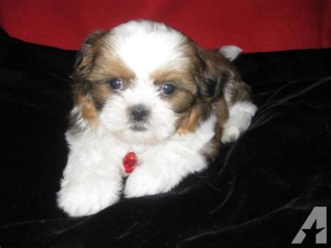 shih tzu white and brown beautiful white and brown shih tzu puppy 9 weeks for sale in phelan