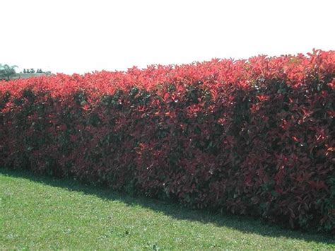 siepi fiorite da giardino siepi da giardino sempreverdi siepi siepi giardino