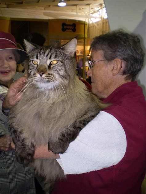 biggest house cat in the world the biggest cats in the world