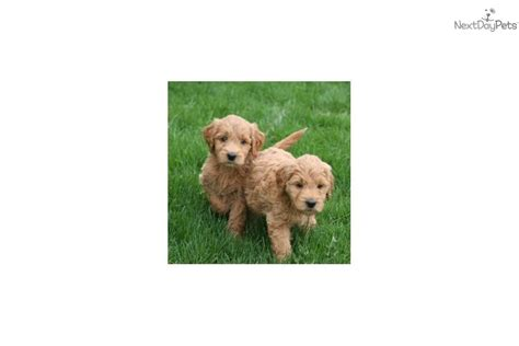 doodle for sale indiana doodle puppies for sale indiana breeds picture