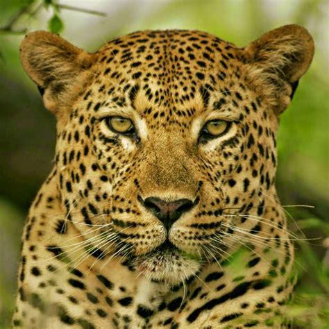 imagenes de ojos de jaguar sonorona fantas 237 a maquillaje de leopardo