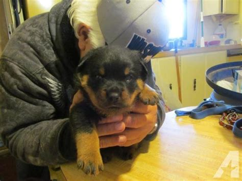 imported rottweiler outstanding akc import rottweiler puppies for sale in mountain washington