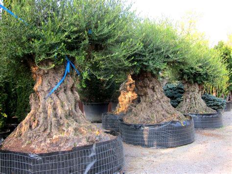 prezzi ulivi da giardino piante di ulivo da giardino prezzi idea di casa