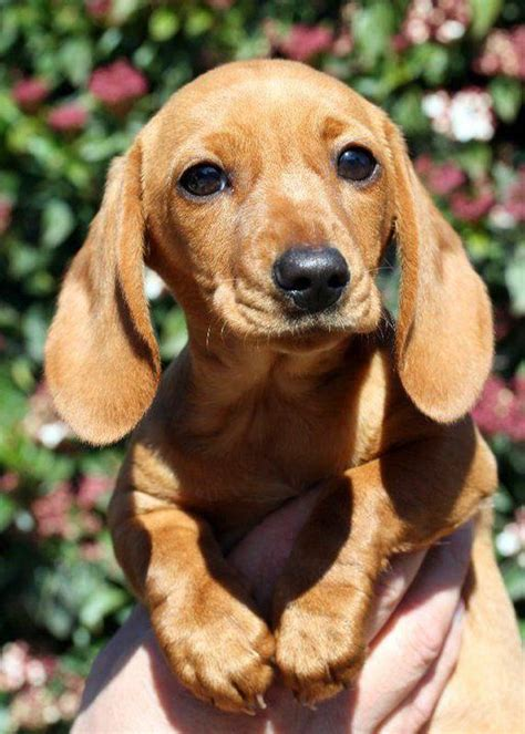 7 Facts On Dachshunds by Best 25 Dachshund Breed Ideas On Dachshund