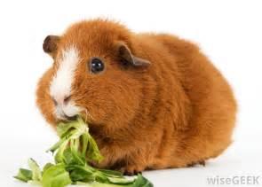 guinea pigs cavia