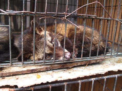kopi luwak wikipedia zwierzęta w turystyce lista nieetycznych atrakcji
