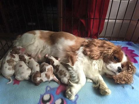 king charles puppies for sale cavalier king charles puppies for sale doncaster south pets4homes