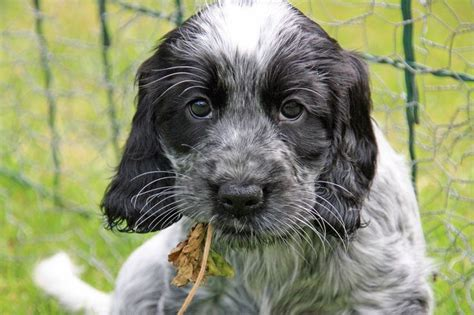 Cocker Spaniel Shedding Hair by 17 Best Images About Cocker Spaniel Shedding Dogs On