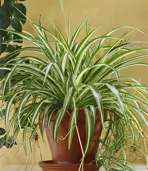 zimmerpflanzen halbschatten gr 252 nlilie 1a zimmerpflanzen kaufen baldur garten