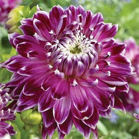 dahlia planting guide easy  grow bulbs