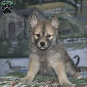 puppies for sale butler pa pomsky puppies for sale in pa