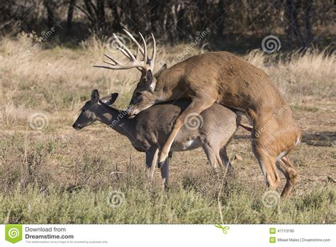 how is buck white reproduction of whitetail buck and doe stock image image
