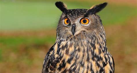 owl symbolism pure spirit owl spirit animal symbolism and meaning