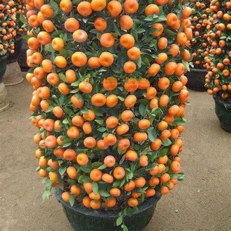 pcs orange potted edible orange citrus fruit dwarf