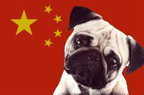 are pugs from china the 25 best pug facts ideas on pug pugs and pug puppies