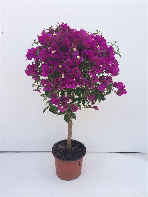 bouganville in vaso bougainvillea albero vaso 14