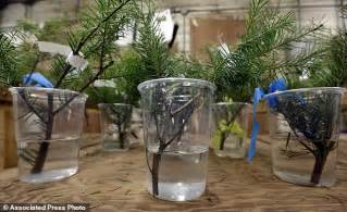 buy christmas tree cuttings scientists target ways to stop fir trees shedding needles daily mail
