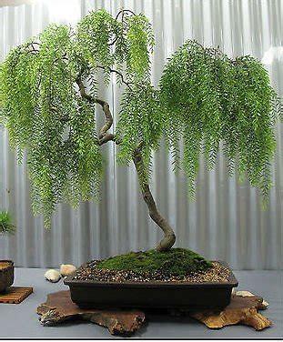 garten pflanzen shop teebaum 20 samen leptospermum brachyandrum bonsai garten