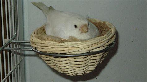breeding canaries step  step guide petbirds