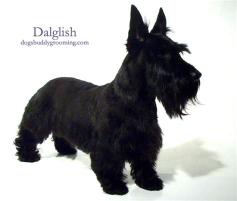 types of scottie grooming styles scottish terrier grooming styles hairstylegalleries com