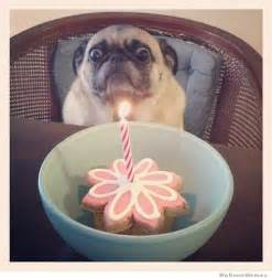 Birthday Pug Meme - 20 funniest pug memes gifs and comics weknowmemes