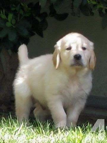 golden retrievers for sale in los angeles akc creme golden retriever for sale in los angeles california classified