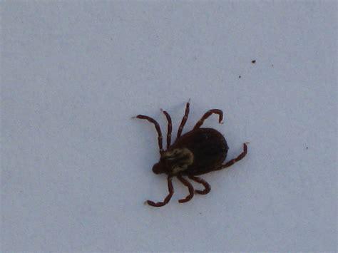 do ticks carry lyme disease canlyme canadian lyme disease foundation lyme autos post