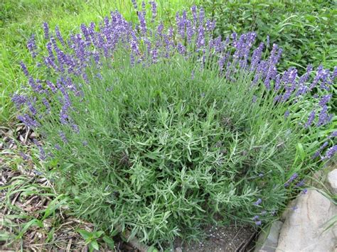 plants and stones cutting back the lavender and making lavender wands