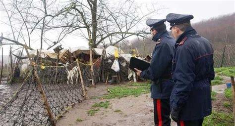 alimentazione pecore pecore maltrattate carabinieri sequestrano l allevamento
