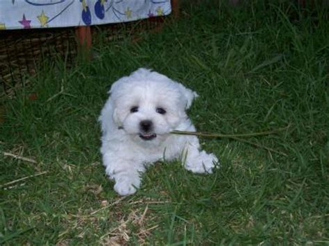 maltese shih tzu breeders adelaide maltese x shih tzu puppies for sale adelaide australia free classifieds muamat