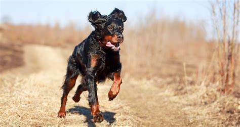 gordon setter dog food 5 things to know about gordon setters petful