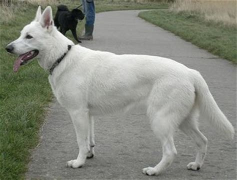white german shepherd puppies 5 common questions about the white german shepherd animalso