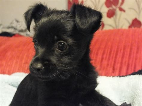 Small Black Small Black Dogs Breeds Breeds Picture